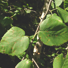 Leaves: Betula cordifolia. ~ By Glen Mittelhauser. ~ Copyright © 2019 Glen Mittelhauser. ~ www.mainenaturalhistory.org