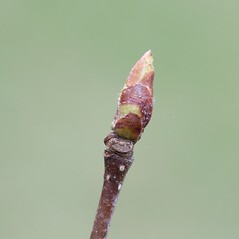Winter buds: Betula cordifolia. ~ By Arieh Tal. ~ Copyright © 2019 Arieh Tal. ~ http://botphoto.com/ ~ Arieh Tal - botphoto.com