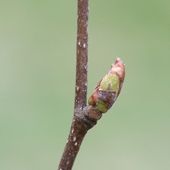 Winter buds: Betula cordifolia. ~ By Arieh Tal. ~ Copyright © 2018 Arieh Tal. ~ http://botphoto.com/ ~ Arieh Tal - botphoto.com