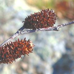 Fruits: Betula lenta. ~ By Alexey Zinovjev. ~ Copyright © 2019. ~ webmaster[at]salicicola.com ~ Salicicola - www.salicicola.com/