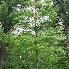 Plant form: Betula lenta. ~ By Arieh Tal. ~ Copyright © 2019 Arieh Tal. ~ www.nttlphoto.com ~ Arieh Tal - www.nttlphoto.com