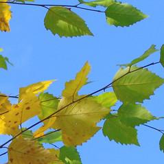 Leaves: Betula nigra. ~ By Alexey Zinovjev. ~ Copyright © 2017. ~ webmaster[at]salicicola.com ~ Salicicola - www.salicicola.com/