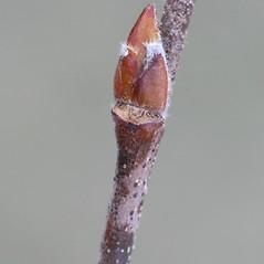 Winter buds: Betula nigra. ~ By Arieh Tal. ~ Copyright © 2017 Arieh Tal. ~ http://botphoto.com/ ~ Arieh Tal - botphoto.com