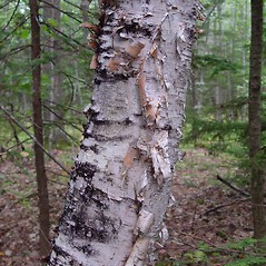 Bark: Betula papyrifera. ~ By Arthur Haines. ~ Copyright © 2020. ~ arthurhaines[at]wildblue.net