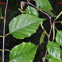Comparison: Betula papyrifera. ~ By Gerry Carr. ~ Copyright © 2017 Gerry Carr. ~ gdcarr[at]comcast.net ~ Oregon Flora Image Project - www.botany.hawaii.edu/faculty/carr/ofp/ofp_index.htm