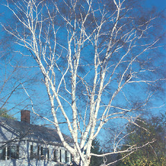 Plant form: Betula papyrifera. ~ By Jean Baxter. ~ Copyright © 2017 New England Wild Flower Society. ~ Image Request, images[at]newenglandwild.org