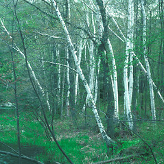 Plant form: Betula papyrifera. ~ By John Lynch. ~ Copyright © 2017 New England Wild Flower Society. ~ Image Request, images[at]newenglandwild.org