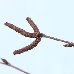 Winter buds: Betula papyrifera. ~ By Arieh Tal. ~ Copyright © 2018 Arieh Tal. ~ http://botphoto.com/ ~ Arieh Tal - botphoto.com