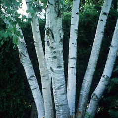 Bark: Betula pendula. ~ By John Ruter. ~ Copyright © 2020 CC BY-NC 3.0. ~  ~ Bugwood - www.bugwood.org/