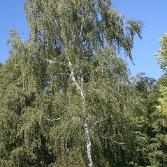Plant form: Betula pendula. ~ By Robert Vid_ki. ~ Copyright © 2020 CC BY-NC 3.0. ~  ~ Bugwood - www.bugwood.org/