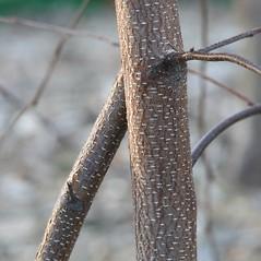 Bark: Betula populifolia. ~ By Arieh Tal. ~ Copyright © 2019 Arieh Tal. ~ http://botphoto.com/ ~ Arieh Tal - botphoto.com