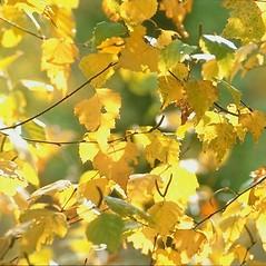 Leaves: Betula populifolia. ~ By Arieh Tal. ~ Copyright © 2019 Arieh Tal. ~ http://botphoto.com/ ~ Arieh Tal - botphoto.com