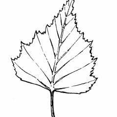 Leaves: Betula populifolia. ~ By Gordon Morrison. ~ Copyright © 2019 New England Wild Flower Society. ~ Image Request, images[at]newenglandwild.org