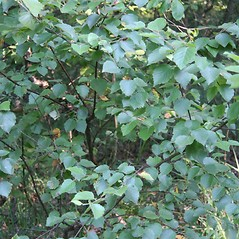 Plant form: Betula pubescens. ~ By Robert Vid_ki. ~ Copyright © 2017 CC BY-NC 3.0. ~  ~ Bugwood - www.bugwood.org/