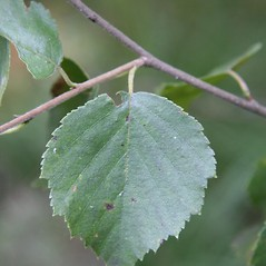 Leaves: Betula pubescens. ~ By Robert Vid_ki. ~ Copyright © 2017 CC BY-NC 3.0. ~  ~ Bugwood - www.bugwood.org/