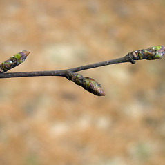 Winter buds: Betula pubescens. ~ By Bruce Patterson. ~ Copyright © 2020 Bruce Patterson. ~ foxpatterson[at]comcast.net
