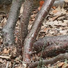 Bark: Betula pumila. ~ By Arieh Tal. ~ Copyright © 2017 Arieh Tal. ~ http://botphoto.com/ ~ Arieh Tal - botphoto.com