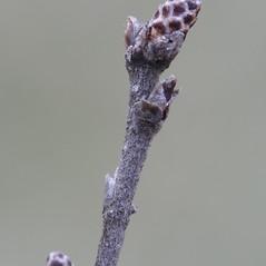 Winter buds: Betula pumila. ~ By Arieh Tal. ~ Copyright © 2017 Arieh Tal. ~ http://botphoto.com/ ~ Arieh Tal - botphoto.com
