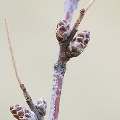 Winter buds: Betula pumila. ~ By Arieh Tal. ~ Copyright © 2020 Arieh Tal. ~ http://botphoto.com/ ~ Arieh Tal - botphoto.com