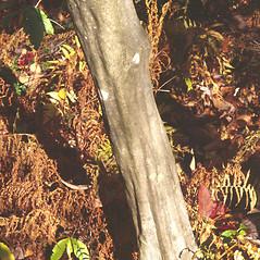 Bark: Carpinus caroliniana. ~ By Carol Levine. ~ Copyright © 2017 Carol Levine. ~ carolflora[at]optonline.net
