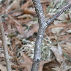 Bark: Corylus americana. ~ By Arieh Tal. ~ Copyright © 2017 Arieh Tal. ~ www.nttlphoto.com ~ Arieh Tal - www.nttlphoto.com