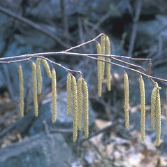 Flowers: Corylus americana. ~ By Frank Bramley. ~ Copyright © 2018 New England Wild Flower Society. ~ Image Request, images[at]newenglandwild.org