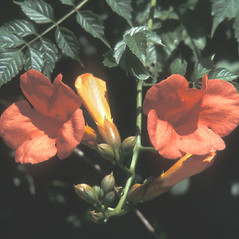 Flowers: Campsis radicans. ~ By Catherine Heffron. ~ Copyright © 2018 New England Wild Flower Society. ~ Image Request, images[at]newenglandwild.org