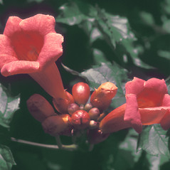 Flowers: Campsis radicans. ~ By John Lynch. ~ Copyright © 2018 New England Wild Flower Society. ~ Image Request, images[at]newenglandwild.org