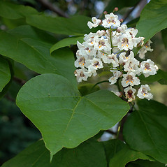 Flowers: Catalpa bignonioides. ~ By David G. Smith. ~ Copyright © 2019. ~ dgsmith3[at]gmail.com ~ Delaware Wildflowers - delawarewildflowers.org/