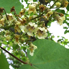Flowers: Catalpa ovata. ~ By Michael Hassler. ~ Copyright © 2017 Michael Hassler. ~ Requests for image use not currently accepted by copyright holder ~ Flowering Plants of Pennsylvania - www.botanik.uni-karlsruhe.de/FloraKA/PA/list.php