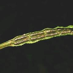 Sori: Woodwardia areolata. ~ By Robbin Moran. ~ Copyright © 2020 Robbin Moran. ~ rmoran[at]nybg.org ~ Plant Systematics - www.plantsystematics.org/