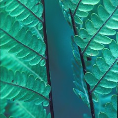 Detail of leaf and/or divisions: Woodwardia virginica. ~ By David Stone. ~ Copyright © 2019 New England Wild Flower Society. ~ Image Request, images[at]newenglandwild.org