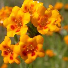 Flowers: Amsinckia eastwoodiae. ~ By Neal Kramer. ~ Copyright © 2020 Neal Kramer. ~ kramerbotanical[at]yahoo.com ~ CalPhotos - calphotos.berkeley.edu/flora/