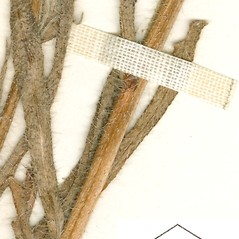 Stems: Amsinckia eastwoodiae. ~ By William and Linda Steere and the C.V. Starr Virtual Herbarium. ~ Copyright © 2017 William and Linda Steere and the C.V. Starr Virtual Herbarium. ~ Barbara Thiers, Director; bthiers[at]nybg.org ~ C.V. Starr Herbarium - NY Botanical Gardens