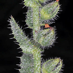 Stems: Anchusa arvensis. ~ By Robert L. Carr. ~ Copyright © 2018. ~ CheneyBobLin[at]aol.com ~ Oregon Flora Image Project - www.botany.hawaii.edu/faculty/carr/ofp/ofp_index.htm