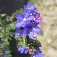 Flowers: Anchusa azurea. ~ By Beverly Walters. ~ Copyright © 2018 Beverly Walters. ~ No permission needed for non-commercial uses, with proper credit ~ U. of Michigan Herbarium - herbarium.lsa.umich.edu/