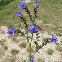 Plant form: Anchusa azurea. ~ By Beverly Walters. ~ Copyright © 2019 Beverly Walters. ~ No permission needed for non-commercial uses, with proper credit ~ U. of Michigan Herbarium - herbarium.lsa.umich.edu/