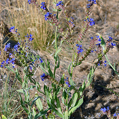 Plant form: Anchusa officinalis. ~ By Gerry Carr. ~ Copyright © 2018 Gerry Carr. ~ gdcarr[at]comcast.net ~ Oregon Flora Image Project - www.botany.hawaii.edu/faculty/carr/ofp/ofp_index.htm