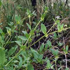 Plant form: Asperugo procumbens. ~ By Robert L. Carr. ~ Copyright © 2017. ~ CheneyBobLin[at]aol.com ~ Oregon Flora Image Project - www.botany.hawaii.edu/faculty/carr/ofp/ofp_index.htm