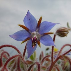 Flowers: Borago officinalis. ~ By Arthur Haines. ~ Copyright © 2018. ~ arthurhaines[at]wildblue.net