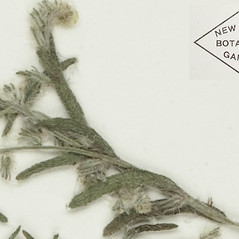 Leaves: Cryptantha ambigua. ~ By William and Linda Steere and the C.V. Starr Virtual Herbarium. ~ Copyright © 2017 William and Linda Steere and the C.V. Starr Virtual Herbarium. ~ Barbara Thiers, Director; bthiers[at]nybg.org ~ C.V. Starr Herbarium - NY Botanical Gardens