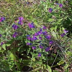 Plant form: Echium plantagineum. ~ By Luigi Rignanese. ~ Copyright © 2019 Luigi Rignanese. ~ Requests for image use not currently accepted by copyright holder ~ CalPhotos - calphotos.berkeley.edu/flora/