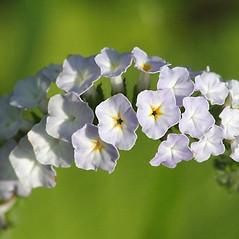 Flowers: Heliotropium indicum. ~ By John Gwaltney. ~ Copyright © 2019 John Gwaltney. ~ southeasternflora.com ~ Southeastern Flora - www.southeasternflora.com/