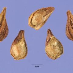 Fruits: Heliotropium indicum. ~ By Steve Hurst. ~  Public Domain. ~  ~ USDA-NRCS Plants Database - plants.usda.gov/java/