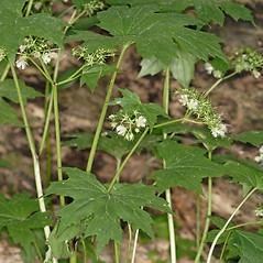 Plant form: Hydrophyllum canadense. ~ By John Gwaltney. ~ Copyright © 2020 John Gwaltney. ~ southeasternflora.com ~ Southeastern Flora - www.southeasternflora.com/