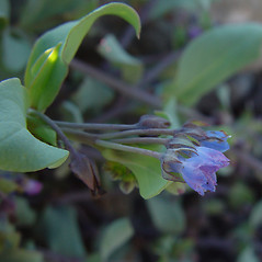 Flowers: Mertensia maritima. ~ By Arthur Haines. ~ Copyright © 2020. ~ arthurhaines[at]wildblue.net