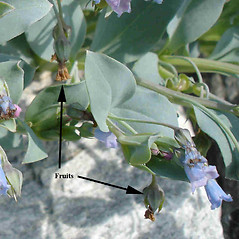 Fruits: Mertensia maritima. ~ By Jill Weber. ~ Copyright © 2020 Jill Weber. ~ jillweber03[at]gmail.com