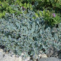 Plant form: Mertensia maritima. ~ By Jill Weber. ~ Copyright © 2019 Jill Weber. ~ jillweber03[at]gmail.com