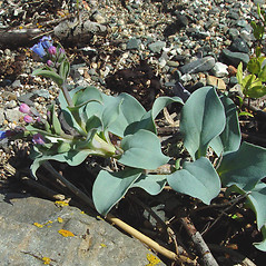 Leaves: Mertensia maritima. ~ By Arthur Haines. ~ Copyright © 2020. ~ arthurhaines[at]wildblue.net