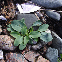 Leaves: Mertensia maritima. ~ By Donald Cameron. ~ Copyright © 2020 Donald Cameron. ~ No permission needed for non-commercial uses, with proper credit